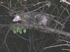 Possum_tree_1